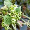 Cascade Hop Harvest